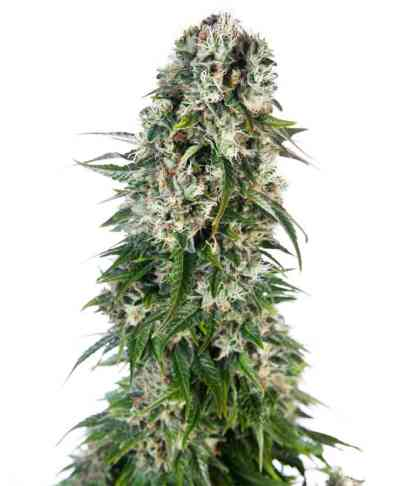 Big Bud Automatic > Sensi Seeds
