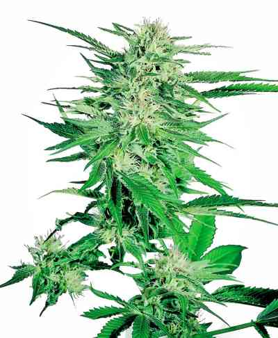 Big Bud > Sensi Seeds