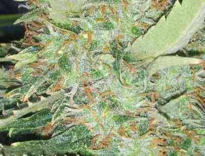 Big Bud > Vision Seeds