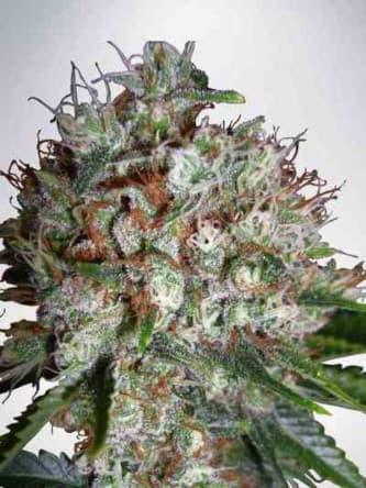 Big Bud XXL > Ministry of Cannabis