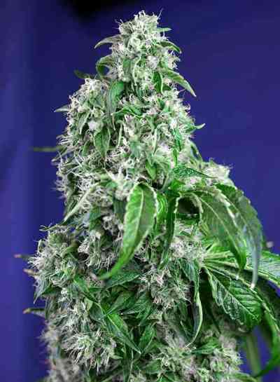 Big Devil F1 Fast Version > Sweet Seeds