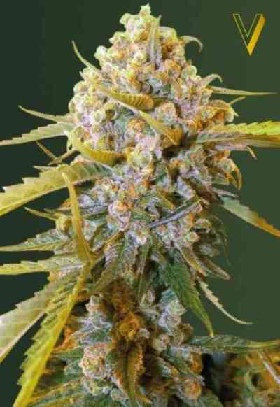 Biggest Bud > Victory Seeds
