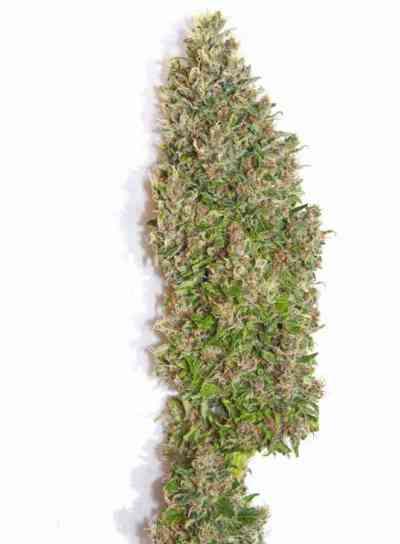 Bisho Purple > Tropical Seeds Company