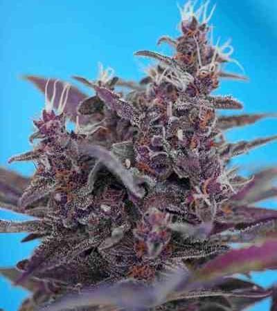 Black Cream Auto > Sweet Seeds