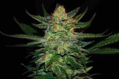 Black Destroyer Samen > Original Sensible Seeds