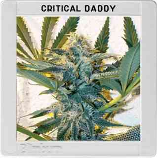 Critical Daddy Purple Samen > Blim Burn Seeds