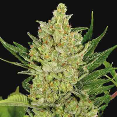 Blue Cheese Auto > Barney\'s Farm