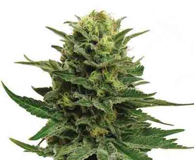 Blue Mystic semilla > Royal Queen Seeds