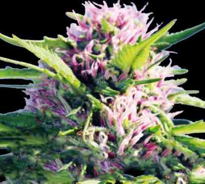 Blue Power semilla > Vision Seeds