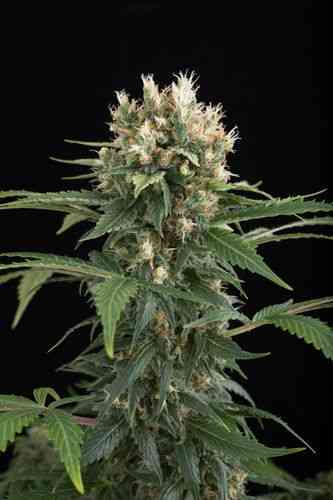 Blue Thai semilla > Dinafem Seeds
