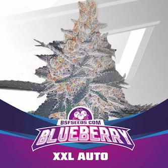 Blueberry XXL Auto > BSF Seeds