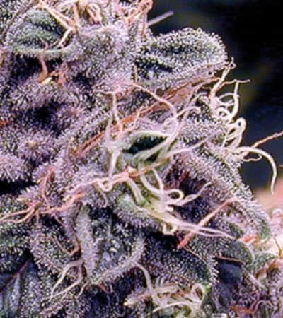 Blueberry Bliss Auto > Vision Seeds