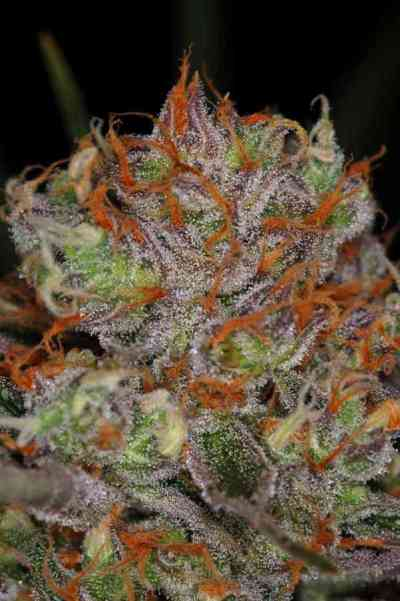 Brian Berry Cough Seed > TGA Subcool Seeds