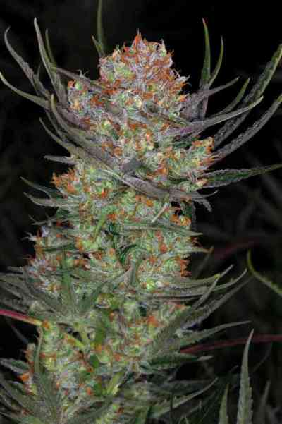 Brian Berry Cough > TGA Subcool Seeds