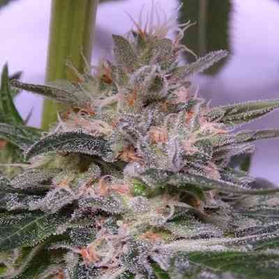 Bubba Kush x Hashplant