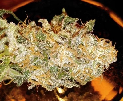 Bubba Kush x Nepal Jam > ACE Seeds