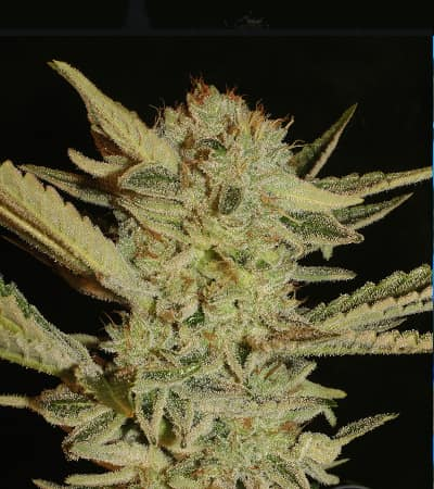 Bubble Gum > Serious Seeds