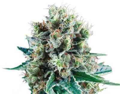 Bubble Kush Automatic semence > Royal Queen Seeds