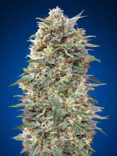 California Kush semilla > 00 Seeds Bank