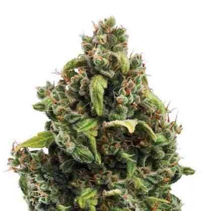candy kush auto-flowering cannabis seeds