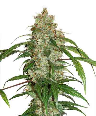 CBD Auto White Widow Samen > Dutch Passion