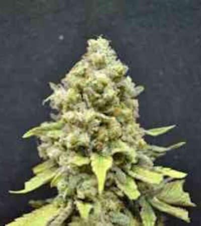 CBD Critical Mass > Linda Seeds