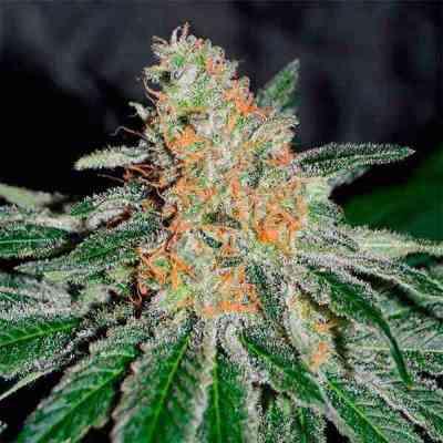 CBD Jam > Delicious Seeds