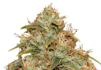 CBD Lemon Potion Auto > Barney\'s Farm