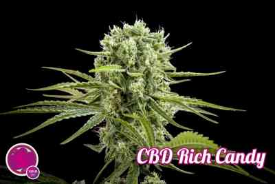 CBD Rich Candy > Philosopher Seeds
