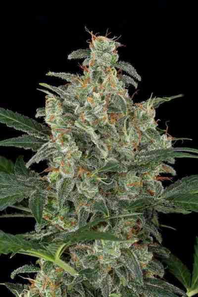 Cheese Autoflowering > Dinafem Seeds
