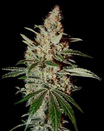 Chemdog semilla > Green House Seed Company