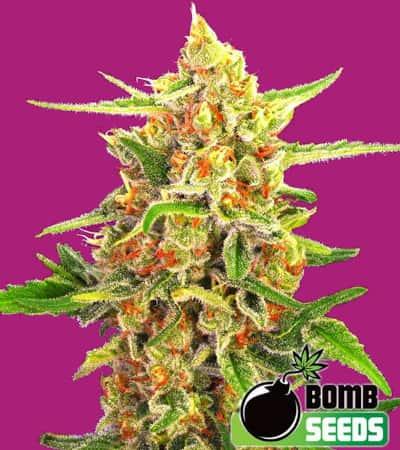 Cherry Bomb > Bomb Seeds