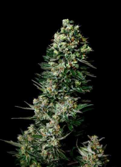 Chocolute F2 Seed > Absolute Cannabis Seeds
