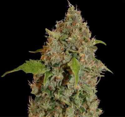 Chronic Thunder > Barney\'s Farm