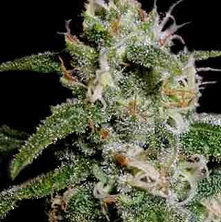 Cindy\'s 99 > Blim Burn Seeds