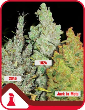 Coleccion 2 > Medical Seeds Co.