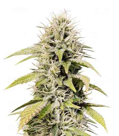 Cookies and Cream > Seed Stockers
