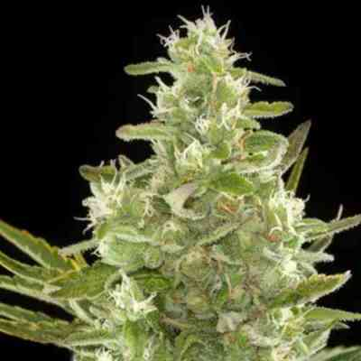 Critical+ Automatic Samen > Dinafem Seeds