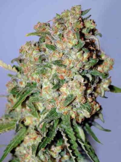 Feminized Collection #2 > Advanced Seeds