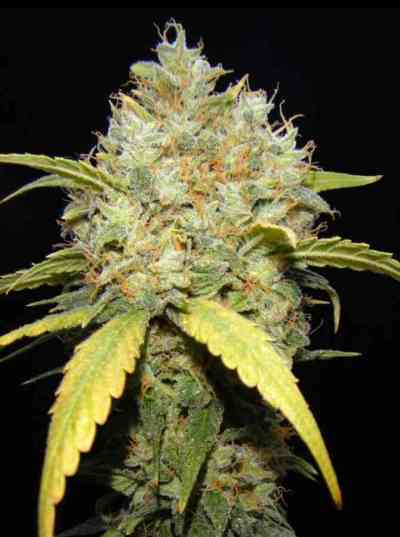 Critical Ganja > Makka Seeds