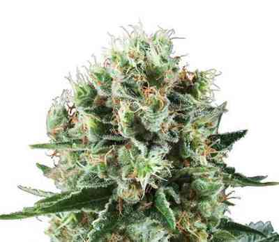 Critical Kush > Royal Queen Seeds