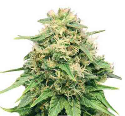 Critical > Royal Queen Seeds