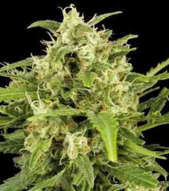 Critical Mass > Linda Seeds