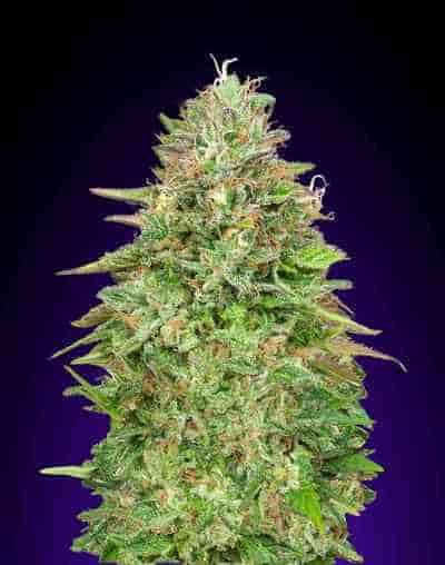 Critical Poison Fast Version Samen > 00 Seeds Bank