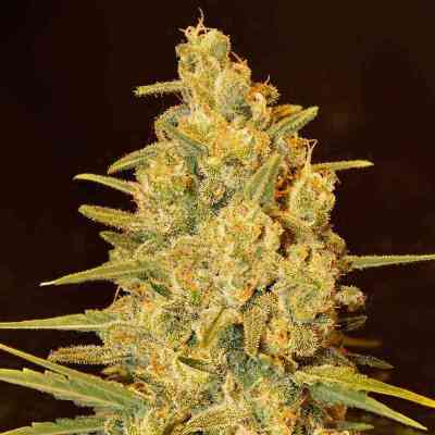 Critical Sensi Star semence > Delicious Seeds
