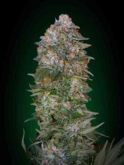 Feminized Collection #1 > Advanced Seeds