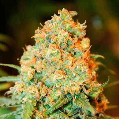 Critical Super Silver Haze semence > Delicious Seeds