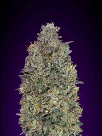 Critical Purple Kush Samen > Advanced Seeds