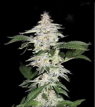 Crystal Meth > Fast Buds Company