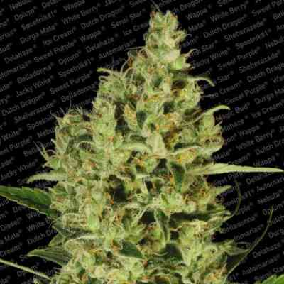 Collection Pack Sativa Champions > Paradise Seeds